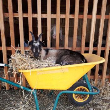 Una delle nostre capre all'agriturismo